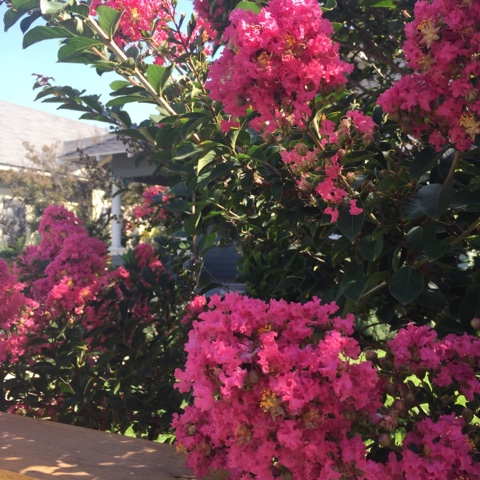 pink-flowers-tree