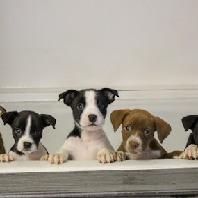 Puppies! by Sarah Douglas - Animals - Dogs Puppies
