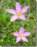 Marsh Pink flower
