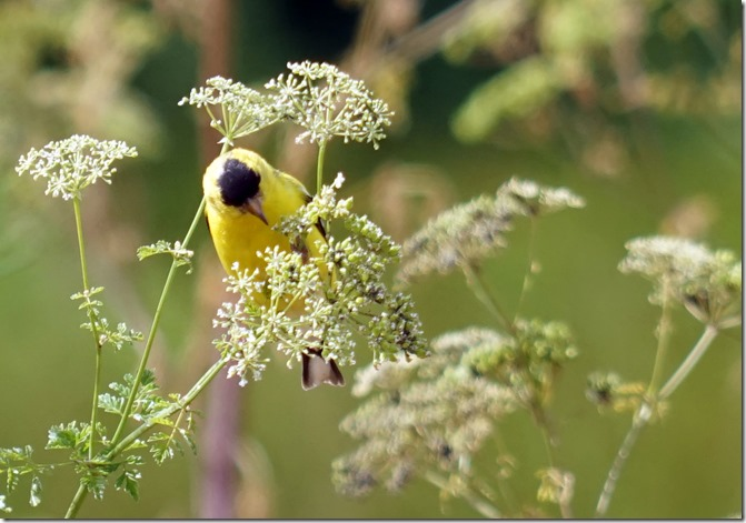 anacortes goldfinch 071415 00000
