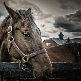 His Better Side by Paulo Peres - Animals Horses ( farm, face, horse, mammal, kentucky )
