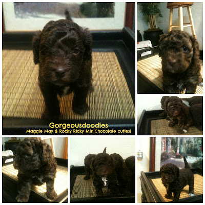 Mini Doodles labradoodles, Moon's Lindy Maggie May & Ricky Puppies ~