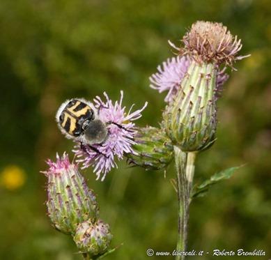 8_Trichius fasciatus_Ortanella-033 (FILEminimizer)