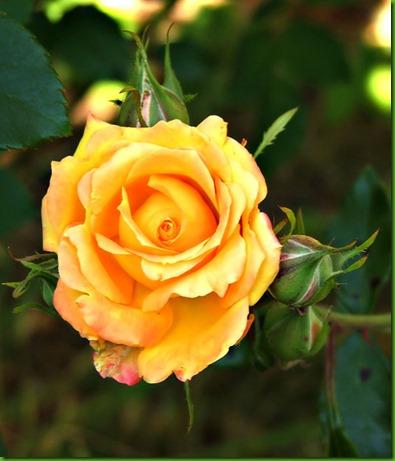 Ro Garten Gold