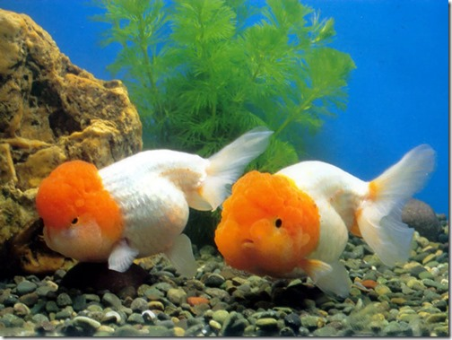ca-vang-gold-fish-ranchu,chinese,japanese,white,reb,black (18)