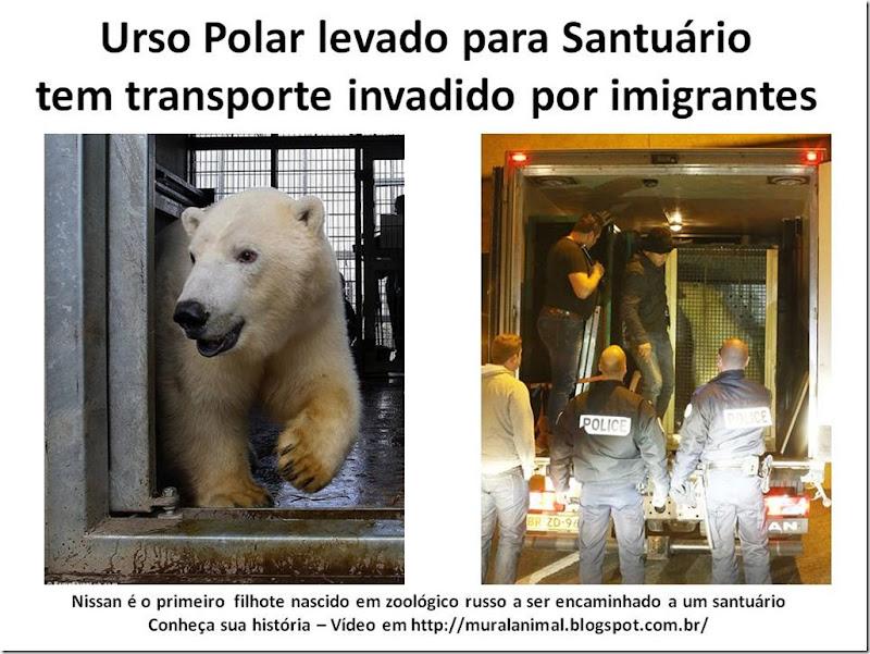 Urso Polar levado para Santuário