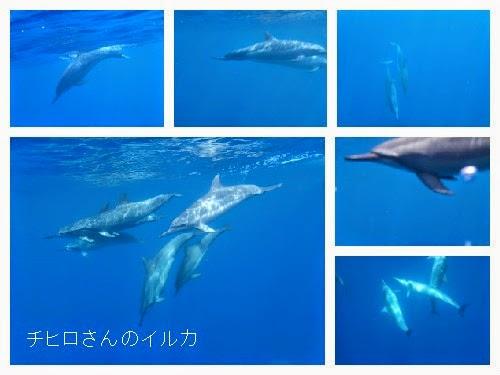 ハワイ島でイルカとドルフィンスイム