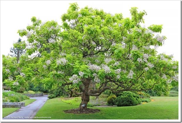 150628_Vancouver_VandusenBG_0134_Catalpa-bignonioides-Aurea