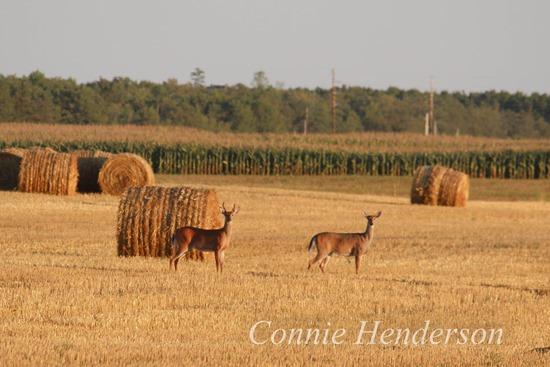 Deer August 20 (2)