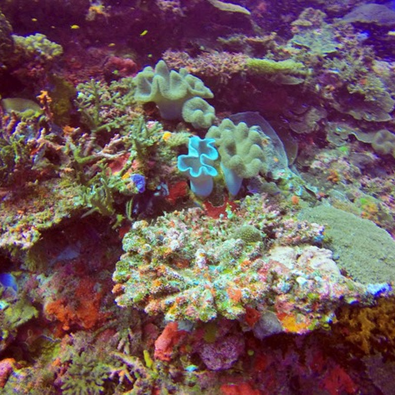 Diving Rainbow Reef (Fiji)