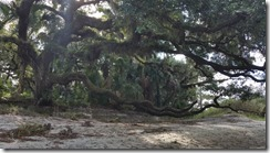 Old oak with moss