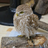 really cute baby owl at Owl Cafe in Harajuku in Harajuku, Tokyo, Japan