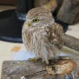 really cute baby owl at Owl Cafe in Harajuku in Harajuku, Tokyo, Japan