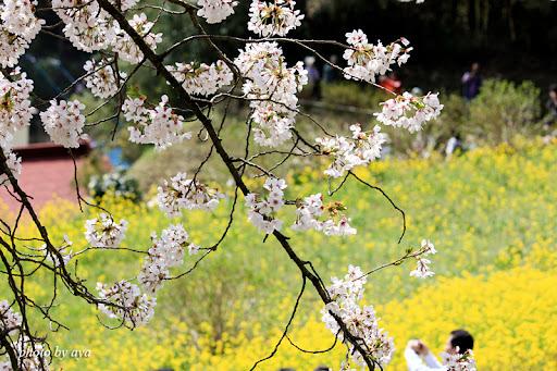 三春の桜 2