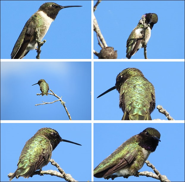 Hummingbird_Collage