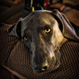 Luca by Jim Antonicello - Animals - Dogs Portraits ( weimaraner, dog,  )