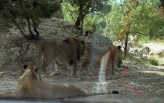 1991.08.24-098.16 lions