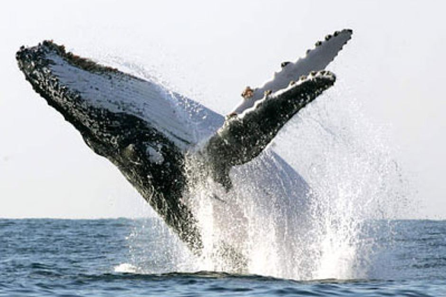 Breaching humpback whale. Photo: Mike Hutchings / Reuters