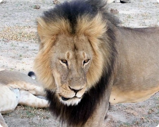 zimbabwe_lion_killed__r