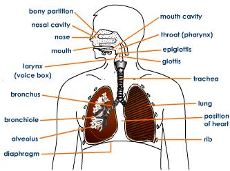 Uk gcse biology the structure of the gas exchange system uk gcse biology ccuart Gallery