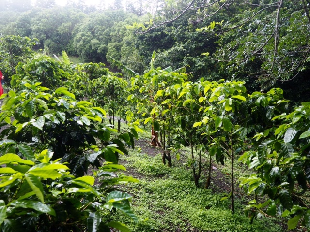 Coffee plants at Don Juan plantation, Monteverde, Costa Rica