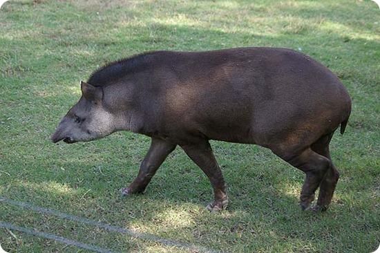 yaboty tapir