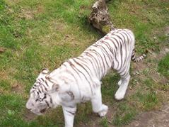 2007.08.09-021 tigre blanc