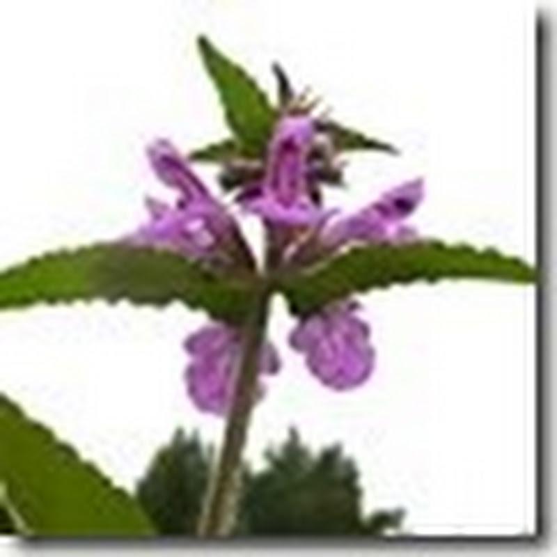 Hạt giống cây Stachys palustris ( hoắc hương đầm lầy ) STA00041