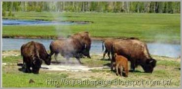 Yellowstone animais nativos parque
