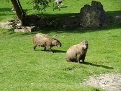 201506.21-084 capybaras