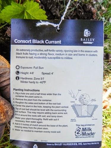 Planting a Black Currant