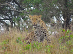 Leopard at iSimangaliso Wetland Park (photo and spotted by Clare!)