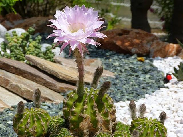 kaktusblüte_01