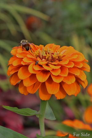 Bees on zinnia