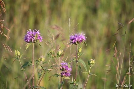 Wild Bergamot Monarda fistulosa or Bee Balm