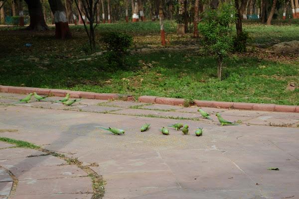 попугаи зеленые индия