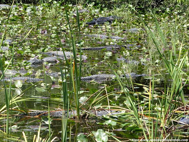 agua-con-alligators-everglades.JPG
