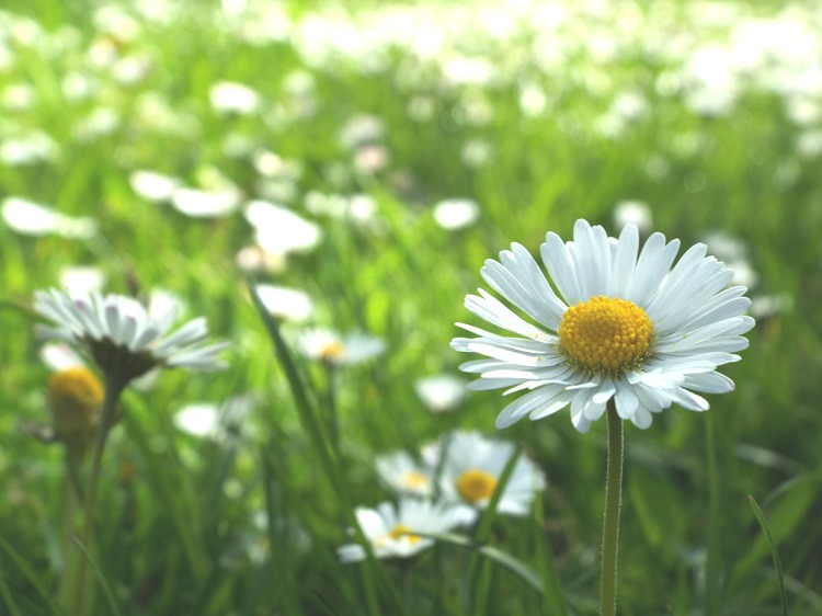 all the daisys