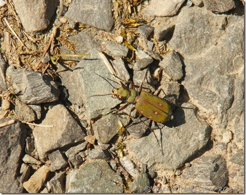 22-green-tiger-beetle