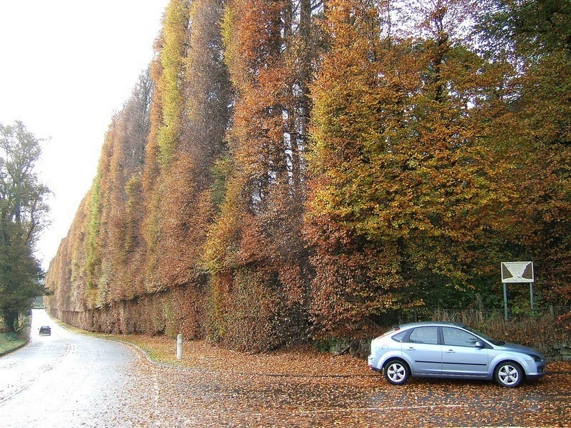meikleour-beech-hedges-6