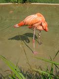 A sleeping pink flamingo at the Nashville Zoo 09032011