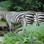Zebras at the Singapore Zoo