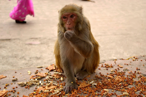обезьяна, мартышка, макака, индия