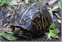 Cautious box turtle