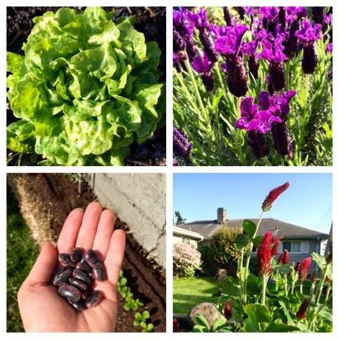 Organic gardening, Seattle, Lettuce, Lavender, Crimson Clover