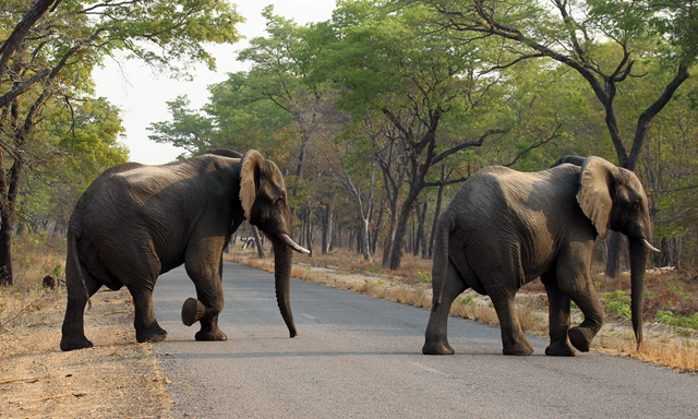 Elephants cross the road in Hwange national park on 1 October 2015, in an area near where the bodies of 26 elephants were found by rangers. Photo: Tsvangirayi Mukwazhi / Associated Press