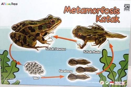 metamorfosis katak 2
