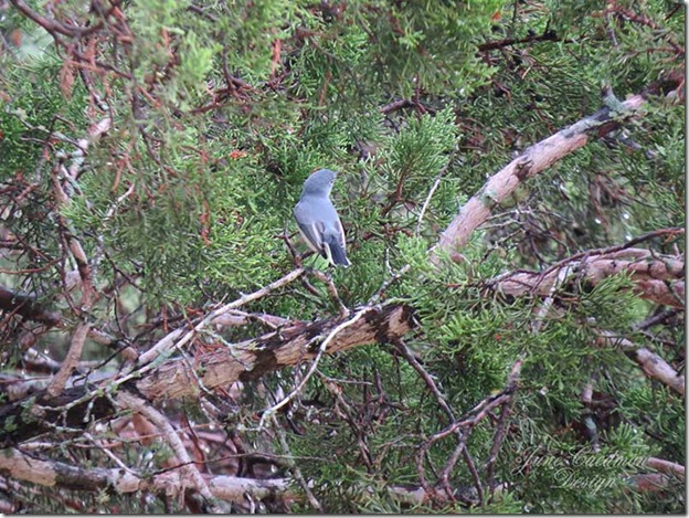 Blue-Gray_Gnatcatcher