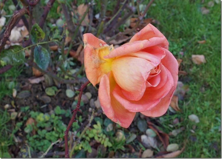 paris 2012 roses 121612 00008