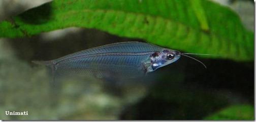 be-ca-canh-cryptopterus_catfish_trenda002-be-thuy-sinh